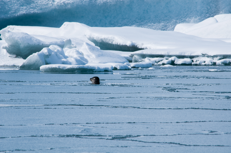 La foca nelle acque di Jökulsárlón