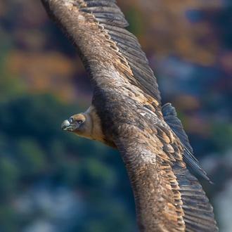 Rapaci, Avvoltoi