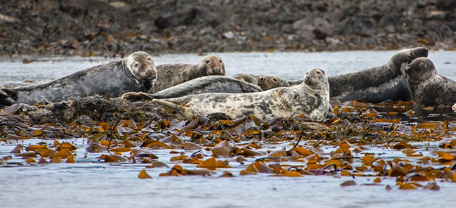 Foca comune, Isola Lunga, Ebridi Interne - (Common Seal, Lunga Island, Inner Hebrides)