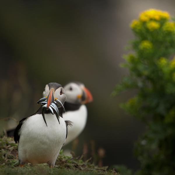 Pulcinella di mare, Isola Lunga, Ebridi, Scozia - (Puffin, Long Island, inner Hebrides, Scotland)