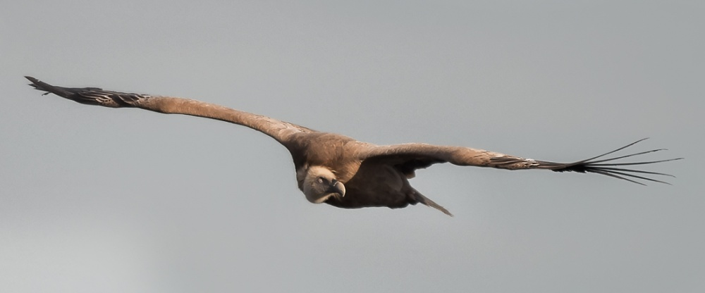 Grifone, Canyon del Verdon, Francia -  (Griffon Vulture, Canyon of Verdon, France)