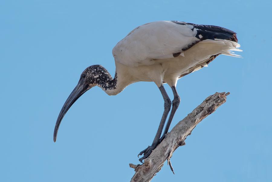 Ibis sacro, Oasi di Alviano, Italia - (African Sacred Ibis, Oasis of Alviano, Italy)