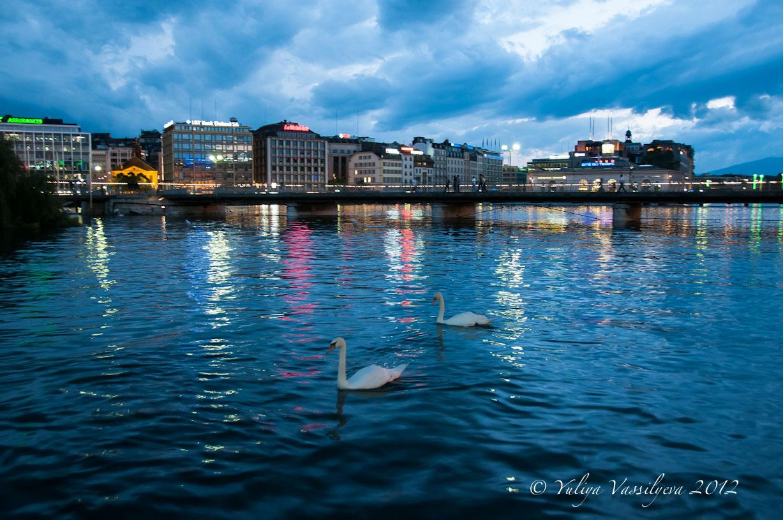 I cigni sul lago di Ginevra