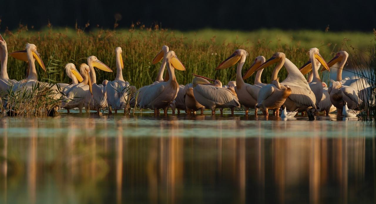 pellicani al tramonto - Il sole sta tramontando sulla laguna. Avrei preferito questi pellicani davanti al capanno in controluce nell'acqua colorata di rosso dalla calda luce del tramonto.