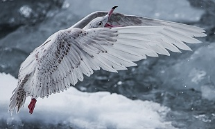 Gabbiano d'Islanda - (Iceland Gull)