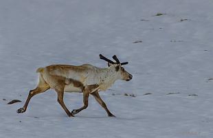Renne - (reindeer)