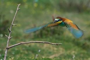Gruccione - (Bee-eater)