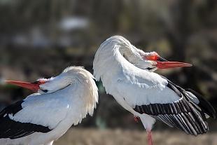 Cicogna - (Stork)
