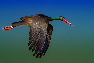 Cicogna nera - (Black stork)