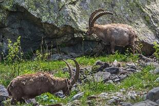 Stambecco - (Ibex)