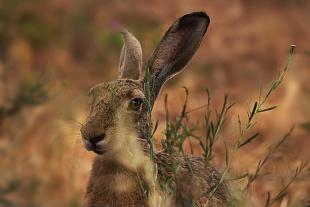 Lepre -(Hare)
