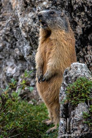 Marmotta - (Marmot)