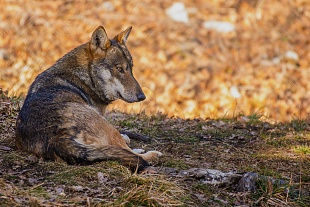 Lupo - (Wolf)