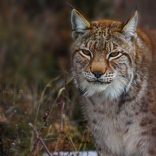 Lince - (Lynx)