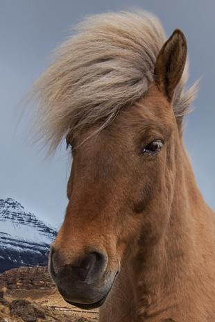 Cavallo islandese - (Icelandic horse)