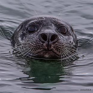 Foche - (Seals)