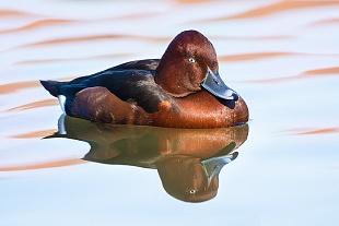 (Motetta tabaccata - (Ferruginous duck)