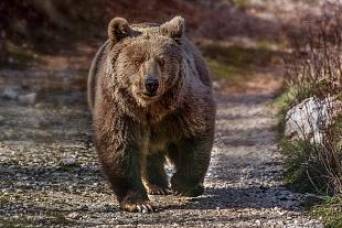 Orso bruno - (brown bear)