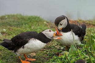 Pulcinella di mare, Isola Lunga, Ebridi Interne - (Puffin, Lunga Island, Inner Hebrides)