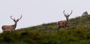 Cervi rossi, Highland occidentali - (Red Stags, Western Highland)