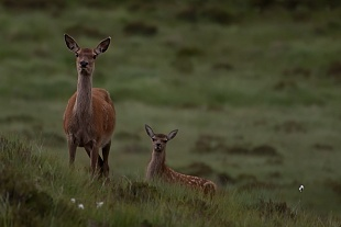 Cervi, Highland occidentali - (Deer, Western Highland)