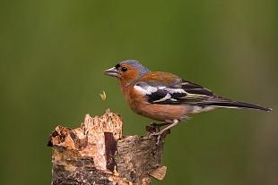 Fringuello, Lock Garten, Cairngorms National Park, Aviemore - (Chaffinch, Lock Garten, Cairngorms National Park, Aviemore)