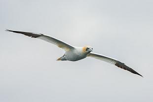Sule, Bass Rock, Costa Orientale - (Gannets, Bass Rock, East  Coast)
