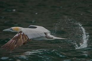 Sule, Bass Rock, costa orientale, Scozia - (Gannets, Bass Rock, East Coast, Scotland)