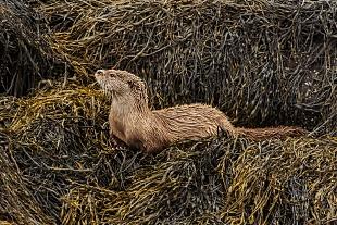 Lontra di mare, Isola di Mull, Ebridi interne - (Sea Otter, Mull Island, Inner Hebrides)