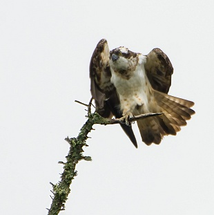 Falco pescatore, Cairngorms National Park, Aviemore - (Osprey, Cairngorms National Park, Aviemore)