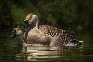 Oca cignoide - (Goose cignoide)