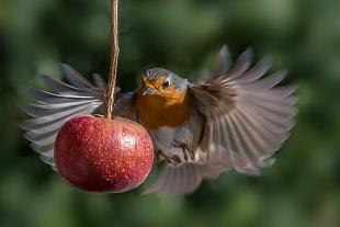 Pettirosso - (Robin)
