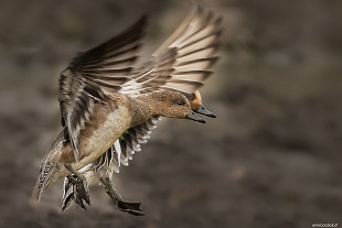Fischione, Parco Nazionale del Circeo - ( Eurasian wigeon, National Park of Circeo, Italy)