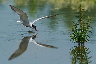 Sterna, Oasi di Racconigi - (Tern, Natural Oasis of Racconigi, Italy)