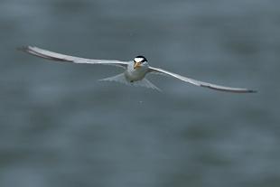 Fraticello (sterna), Huelva, Spagna - (Little tern, Huelva, Spain)