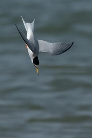 Fraticello (sterna), Huelva, Portogallo - (Little tern, Huelva, Portugal)