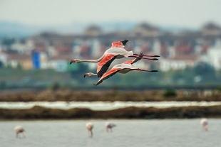 Fenicottero, Huelva, Spagna - (Flamingo , Huelva, Spain)