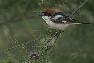 Averla capirossa, parco Nazionale del Coto Doñana, Andalusia, Spagna - (Woodchat Shrike , Doñana National Park, Andalusia, Spain)