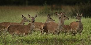 Cervi, parco Nazionale del Coto Doñana, Andalusia, Spagna - (Deer , Doñana National Park, Andalusia, Spain)