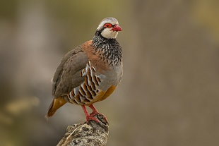 Pernice rossa, parco Nazionale del Coto Doñana, Andalusia, Spagna - (Red-legged Partridge  , Doñana National Park, Andalusia, Spain)