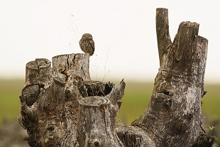 Civetta, parco Nazionale del Coto Doñana, Andalusia, Spagna - (Little owl , Doñana National Park, Andalusia, Spain)