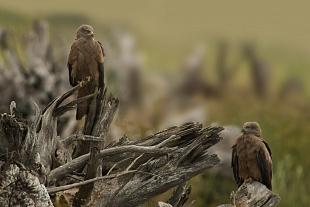 Nibbio bruno, parco Nazionale del Coto Doñana, Andalusia, Spagna - (Black Kite , Doñana National Park, Andalusia, Spain)