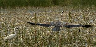 Airone cenerino, parco Nazionale del Coto Doñana, Andalusia, Spagna - (Grey Heron , Doñana National Park, Andalusia, Spain)