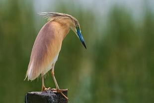 Sgarza ciuffetto, parco Nazionale del Coto Doñana, Andalusia, Spagna - (Squacco Heron  , Doñana National Park, Andalusia, Spain)