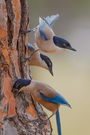 Gazza ali azzurre Iberica, parco Nazionale del Coto Doñana, Andalusia, Spagna - (Iberian Magpie , Doñana National Park, Andalusia, Spain)