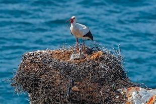 Cicogna, Praia do Tonel, Portogallo - (Stork, Tonel Beach, Portugal)