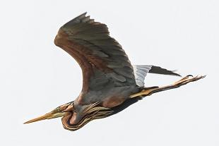 Airone rosso, parco Nazionale del Coto Doñana, Andalusia, Spagna - (Purple Heron, Doñana National Park, Andalusia, Spain)