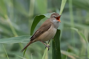 Cannaiola, parco Nazionale del Coto Doñana, Andalusia, Spagna - (Warbler , Doñana National Park, Andalusia, Spain)