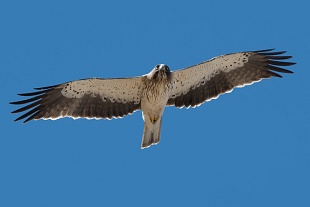 Aquila minore, parco Nazionale del Coto Doñana, Andalusia, Spagna - (Booted Eagle, Doñana National Park, Andalusia, Spain)