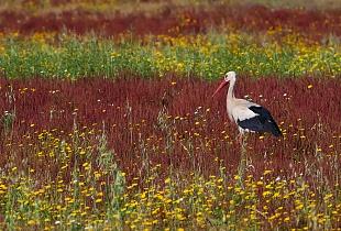 Cicogna, parco Nazionale del Coto Doñana, Andalusia, Spagna - (Stork, Doñana National Park, Andalusia, Spain)